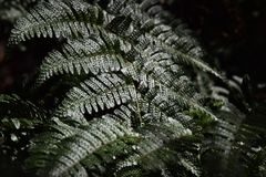 Fern leaves. Natural texture of fern leaves Stock Photo