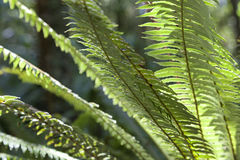Fern leaves New Zealand Stock Image