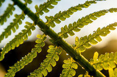 Fern leaves. Royalty Free Stock Photos