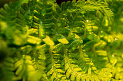 Fern leaves. Royalty Free Stock Images