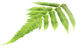 Fern. Leaves over white background Royalty Free Stock Photo