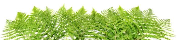 Fern Leaves Panorama photographie stock libre de droits