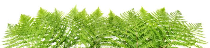 Fern Leaves Panorama royalty free stock photography