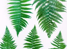 Fern leaves pattern isolated on white background. Flat lay, top view. Fern leaves pattern, isolated on white background. Bright floral composition. Natural Royalty Free Stock Photo