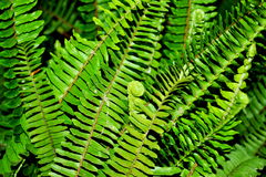 Fern leaves (Pteridophyta) Stock Photography