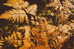 Fern Leaves secado Imágenes de archivo libres de regalías