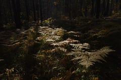 Fern Leaves secco Fotografie Stock