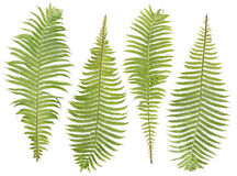 Fern  leaves set. Forest wood green fern real leaves set for Halloween composition  isolated Royalty Free Stock Image
