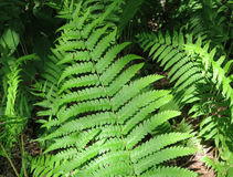 Fern Leaves with Shadows Stock Photo