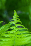 Fern leaves in spring on a sunny day Royalty Free Stock Photos