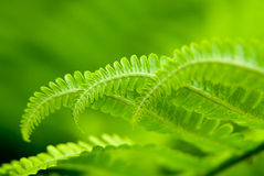 Fern leaves in spring on a sunny day Royalty Free Stock Image