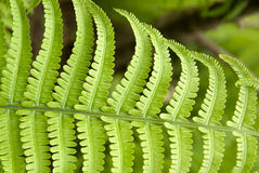Fern leaves in spring on a sunny day Royalty Free Stock Photography