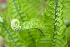 Fern leaves in spring on a sunny day Royalty Free Stock Images