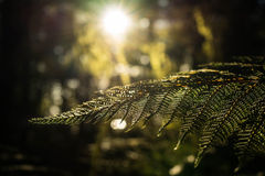 Fern leaves and sunlight Royalty Free Stock Photo