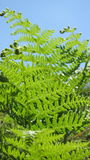 Fern. Leaves of fern on a sunny day Stock Photos