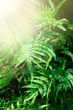 Fern leaves Royalty Free Stock Image