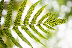 Fern leaves, taken under strong morning sunlight Stock Image