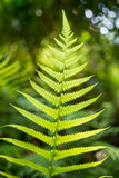 Fern leaves, taken under strong morning sunlight Royalty Free Stock Photo