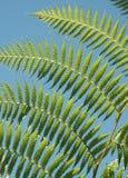 Fern leaves - Tenancious Royalty Free Stock Image