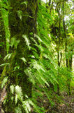 Fern leaves and trees in the forest primeval Stock Photos