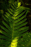 Fern leaves under sunlight in the woods Royalty Free Stock Photos
