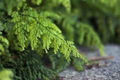 Fern Leaves verde delicado Imagenes de archivo