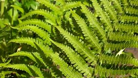 Fern leaves stock video