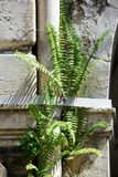 Fern leaves the wall of the building. stock photo