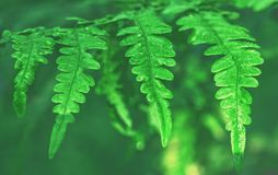Fern Leaves With Water Drops Arkivfoton