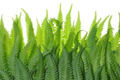 Fern leaves on a white background Royalty Free Stock Images