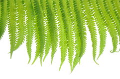 Fern leaves on a white background Stock Photography
