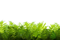 Fern leaves on a white background Stock Photos