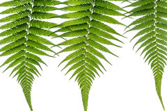 Fern leaves on white background. Close up fern leaves on white background Royalty Free Stock Images