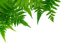 Fern leaves. And white background, Green leaves, for isolate the background Stock Images