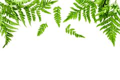 Fern leaves on white background top view border copy space. Spring background.  royalty free stock photography