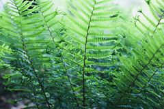 Fern leaves. Wild fern leaves closeup shot Royalty Free Stock Image