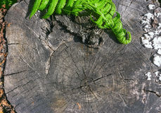 Fern Leaves On A Wooden Background. Natural wood background - green fern leaves on an old stump with annual rings close-up. Selective focus, space for copy Stock Images