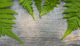 Fern leaves on wooden background. Fern plants are not flowering and reproduction by spores released from the undersides of the fronds. with copy space for your Stock Photos
