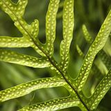 fern liści, Obrazy Royalty Free