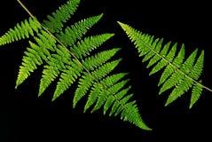 fern liści, Obraz Royalty Free