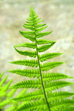fern liści, Fotografia Royalty Free