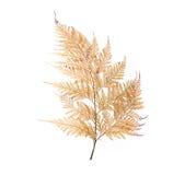 fern liści, suszone Zdjęcia Stock