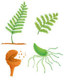 Fern life cycle. Illustration of the fern life cycle Royalty Free Stock Photo