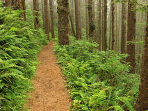 Fern Lined Path. Trail through Cape Lookout State Park (located just 12 miles southwest of Tillamook, Oregon). The park has more than eight miles of hiking and Stock Photo
