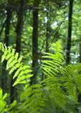 Fern in lush green forest royalty free stock photography
