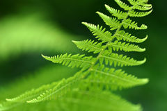 Fern Macro Royalty Free Stock Images