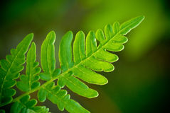 Fern macro Royalty Free Stock Photography