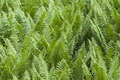 fern Royalty Free Stock Photo