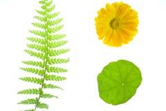 Fern, margarida amarela, folha Imagens de Stock
