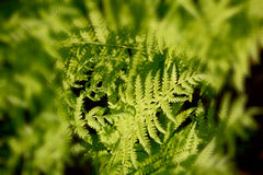 A fern. Is a member of a group of vascular plants that reproduce via spores and have neither seeds nor flowers Stock Images